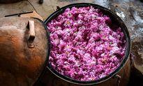 تولید سالیانه ۱۵ هزار تن گلاب در کاشان