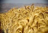 ۲.۱ میلیون تن؛ کاهش حجم گندم خریداری شده