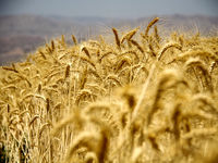 نامه هشدار رئیس بنیاد توانمندسازی گندمکاران به رئیسجمهور/ با تاخیر در اعلام قیمت، کشاورزان را بیانگیزه نکنید