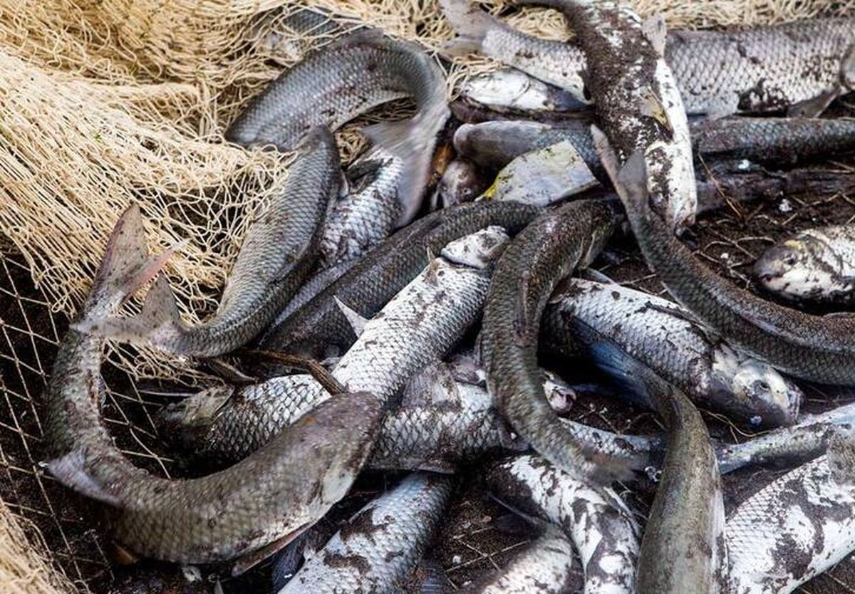 کاهش ۳۰درصدی قیمت ماهی