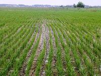 کشت مجدد برنج در استان مازندران متوقف شد