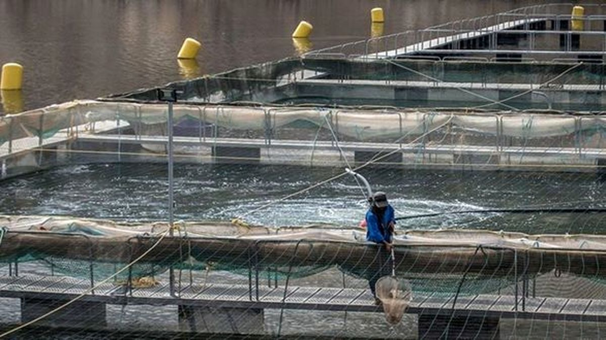 تمام ماهیان سردآبی از مهرماه سالجاری تحت پوشش بیمه قرار میگیرند