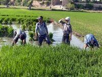 برنجکاران گیلانی منتظر رهاسازی آب سد منجیل / ۱۰اردیبهشت وعده مسئولان