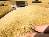 قیمت خرید تضمینی گندم افزایش یافت