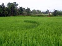 برنج جدید به شالیزارهای شمال کشور میآید