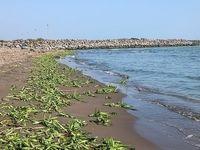 پاکسازی ساحل خزر از گَلهای زیبا اما مرگبار +عکس