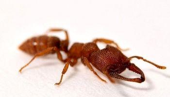 مورچه دراکولا؛ سریعترین حیوان روی زمین +عکس