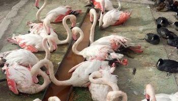 پیگیری رسانهها باعث منع شکار فلامینگو در کربلا شد
