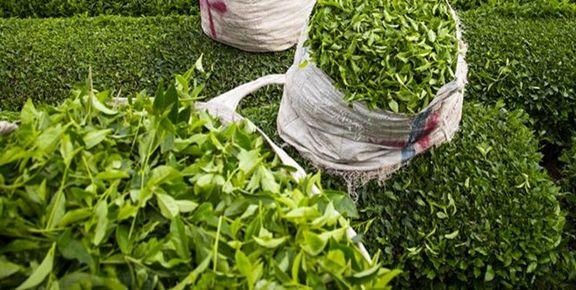 افزایش ۴۱درصدی قیمت چای در کشور