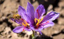 موسسه صنایع غذایی تقلبات زعفران را بررسی میکند