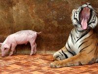 ناهار ببر در باغ وحش +عکس