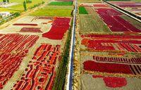 برداشت فلفل قرمز در چین +عکس