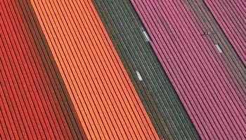 اوج زیبایی در مزارع گل لاله در هلند +تصاویر