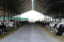 افزایش تعرفه صادرات گاو مولد از صفر به 5درصد/ صادرات 44هزار راس گاو مولد در سال گذشته