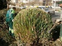 آیا هرس درختان تهران بیموقع بود؟