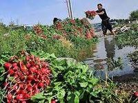 سبزیجات جنوب تهران با مواد نفتی آبیاری میشود