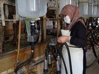رئیس دامداران: شیر گران نشده است