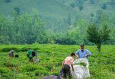 پرداخت بیش از ١٢٧میلیارد تومان از مطالبات چایکاران/ میزان خرید برگ سبز چای به بیش از ١١٠هزار تن رسید/ لزوم تمدید زمان خرید تضمینی برگ سبز چای در برخی مناطق