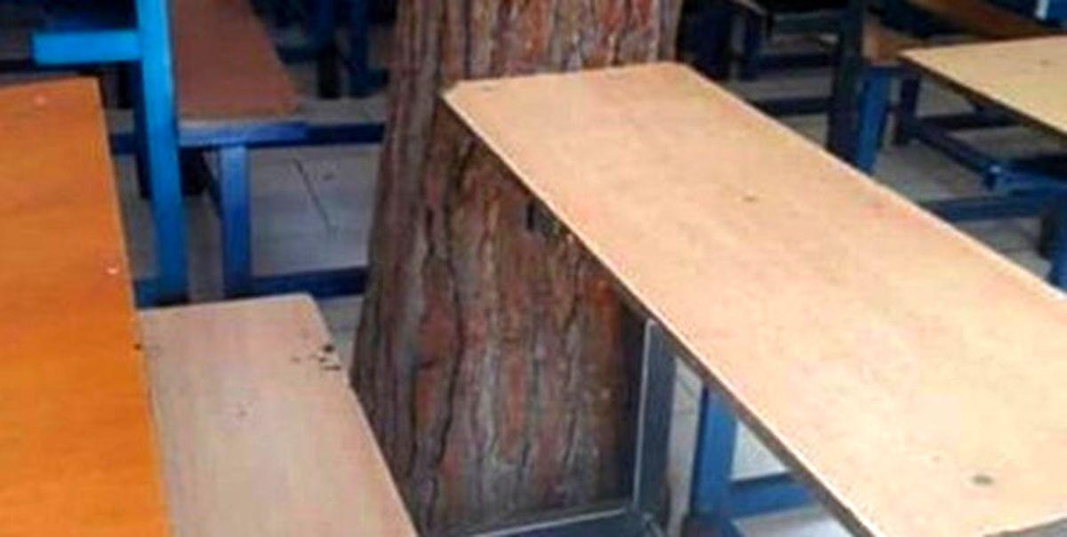درختی که همپای دانشآموزان درس میخواند +عکس
