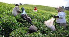آغاز انعقاد قرارداد سازمان چای کشور با کارخانههای چای/ بلاتکلیفی در قیمت و قدرالسهم!