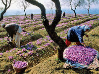 ایران بازارهای جهانی زعفران را از دست میدهد؟