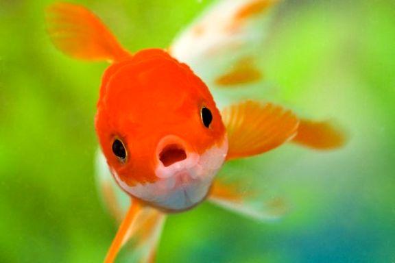 فروش ماهی قرمز نوروز ممنوع شود