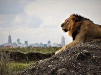 شیرهای روبه انقراض آفریقا +تصاویر