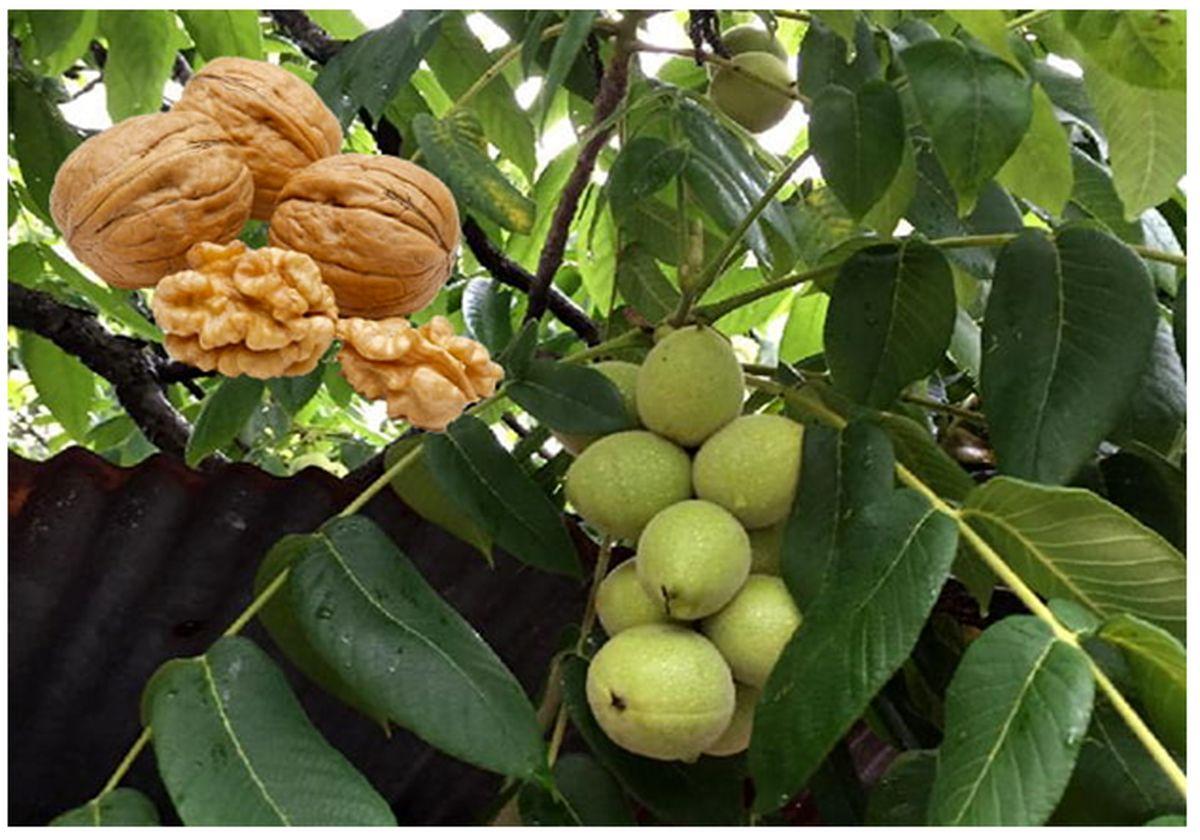مزایای نهال گردو پیوندی نسبت به گردوی بذری چه می باشد؟