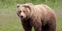 تلف شدن یک خرس قهوهای +عکس