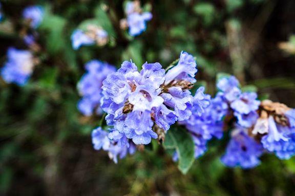 گل نادری که هر 12سال یک بار شکوفا میشود+تصاویر