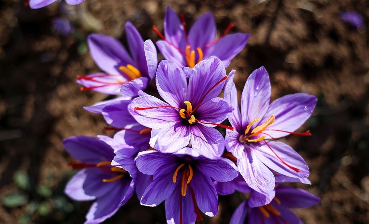 سود ۱۰میلیون تومانی که دلالان از زعفران به جیب میزنند