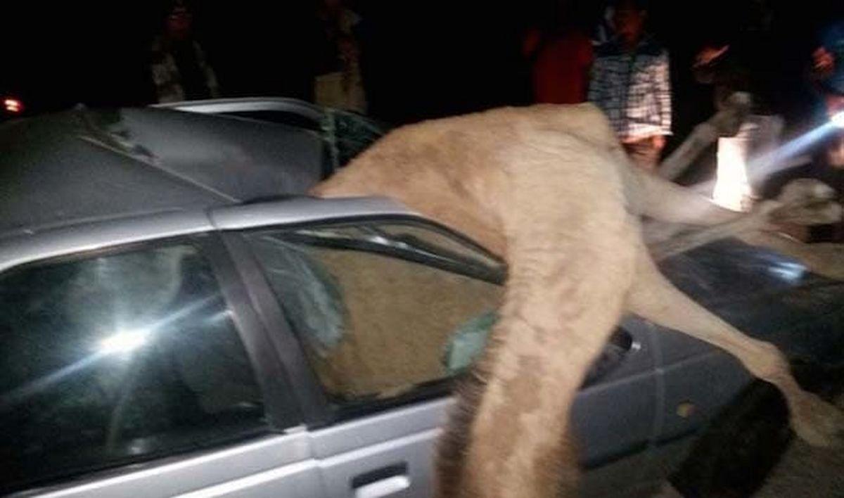 تصادف مرگبار با شتر در سیریک