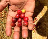 علاقه عجیب ساکنان ماداگاسکار به قهوه خفاشی