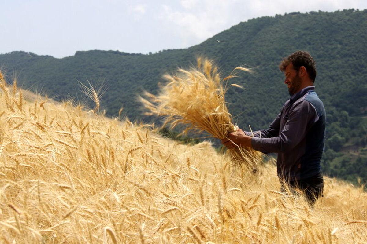 خرید بیش از دو میلیون تن گندم تضمینی تاکنون
