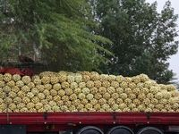 قاچاق پیاز با کامیونهای حامل گوجه!