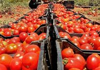 خرید حمایتی گوجهفرنگی با نرخ مصوب ۱۱۵۰تومان آغاز شد