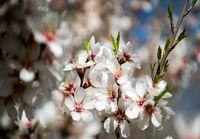 باز شدن شکوفههای بهاری در ابتدای اسفند! +عکس