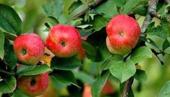 کاهش 35 درصدی صادرات سیب