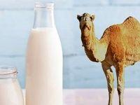 فریب تبلیغات شیر شتر را نخورید