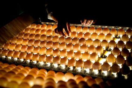 داستان تخم مرغها +تصاویر