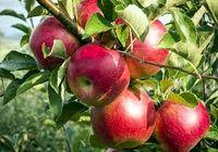 رکود صادرات سیب شکسته شد