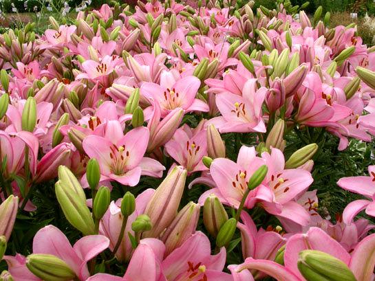 گل ارزان میشود