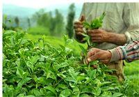 تولید چای هند ۳.۸درصد افزایش یافت
