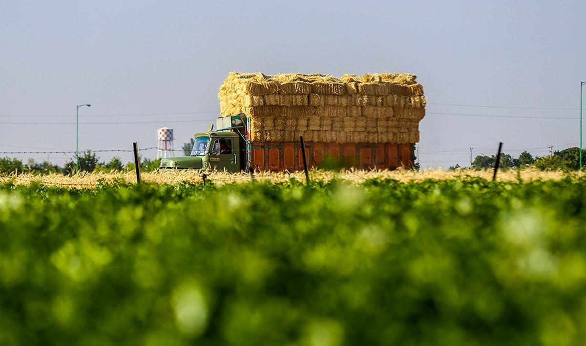 تولید گندم کاهش خواهد یافت