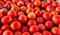 مین گوجهای زیر پای کشاورزی