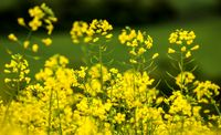 پیشنهاد افزایش قیمت خرید دانههای روغنی کلزا به 3450تومان/ رشد 7برابری تولید دانههای روغنی در 3سال