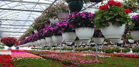صادرات گل ایران رکورد زد/ آمریکا و هلند خریدار گل ایرانی