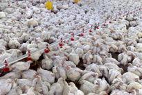 برنامه ملی کنترل بیماری آنفلوانزای پرندگان سال97 ابلاغ شد