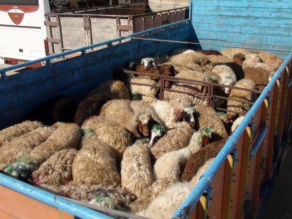 قاچاق دام عامل گرانی گوشت قرمز در کشور است