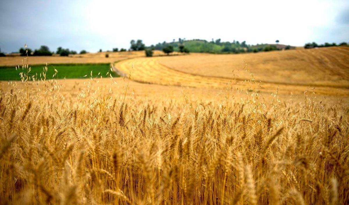 ۱۳میلیون تن گندم امسال در کشور تولید میشود/ پیش بینی خرید ۱۰میلیون تن گندم از کشاورزان